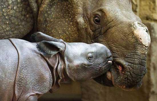 在柏林动物园,刚刚出生几天的犀牛宝宝正在和妈妈